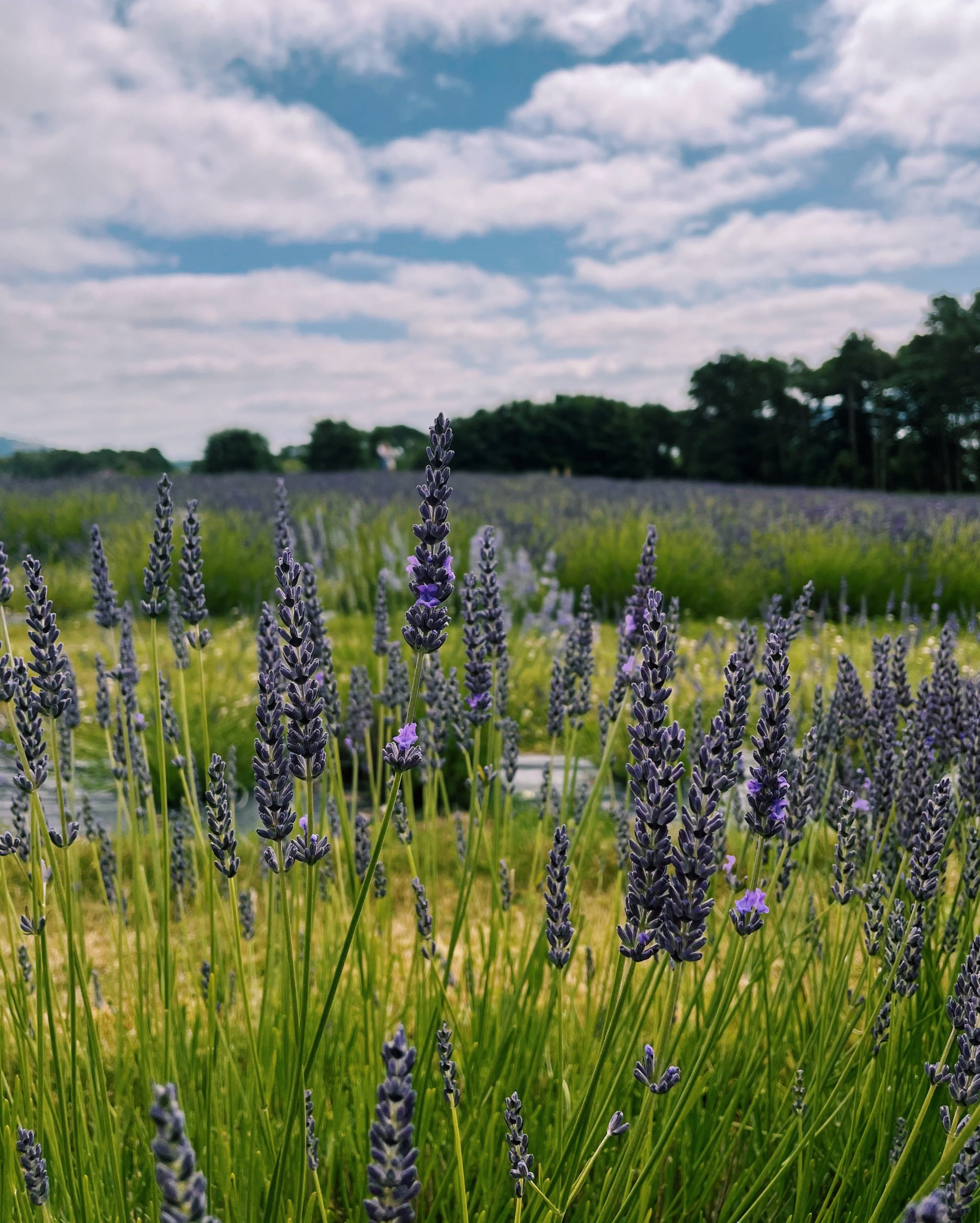 Scottish Lavender Field